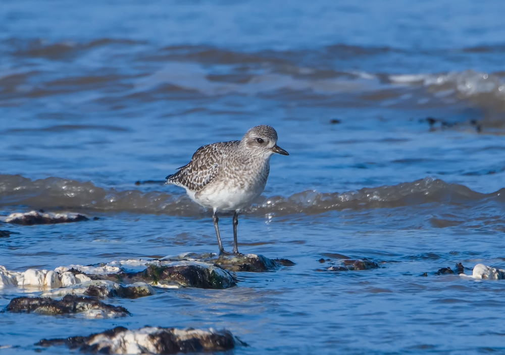 Grey Plover by Richard Farrow.jpg