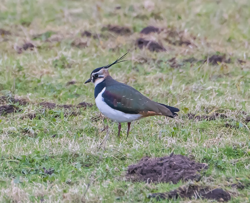 Lapwing by Richard Farrow.jpg