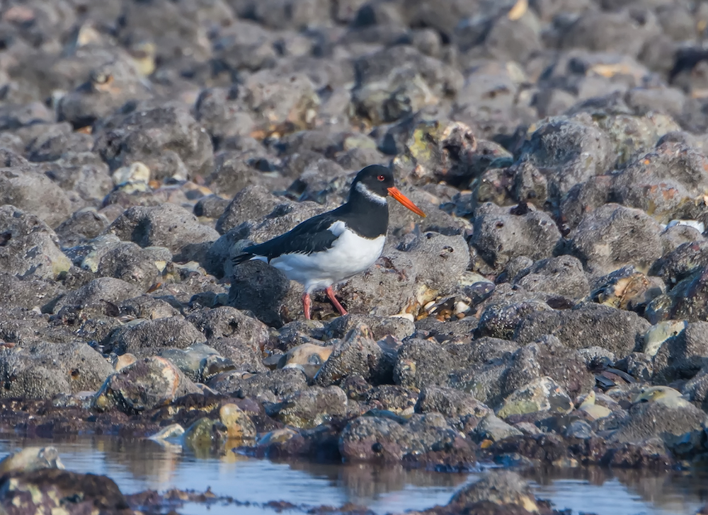 Oyster Catcher by R. Farrow.jpg